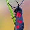 Mažasis marguolis - Zygaena viciae | Fotografijos autorius : Arūnas Eismantas | © Macrogamta.lt | Šis tinklapis priklauso bendruomenei kuri domisi makro fotografija ir fotografuoja gyvąjį makro pasaulį.