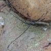 Eglinis ožiaragis - Monochamus sartor | Fotografijos autorius : Vytautas Gluoksnis | © Macrogamta.lt | Šis tinklapis priklauso bendruomenei kuri domisi makro fotografija ir fotografuoja gyvąjį makro pasaulį.