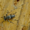 Mažasis pušiagraužis - Acanthocinus griseus | Fotografijos autorius : Romas Ferenca | © Macrogamta.lt | Šis tinklapis priklauso bendruomenei kuri domisi makro fotografija ir fotografuoja gyvąjį makro pasaulį.