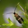 Mažoji ilgaūsė makštinė kandis - Cauchas fibulella | Fotografijos autorius : Vidas Brazauskas | © Macrogamta.lt | Šis tinklapis priklauso bendruomenei kuri domisi makro fotografija ir fotografuoja gyvąjį makro pasaulį.