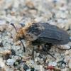 Neporinis maitvabalis - Thanatophilus dispar | Fotografijos autorius : Gintautas Steiblys | © Macrogamta.lt | Šis tinklapis priklauso bendruomenei kuri domisi makro fotografija ir fotografuoja gyvąjį makro pasaulį.