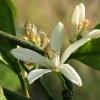 Mandarininis citrinmedis - Citrus reticulata | Fotografijos autorius : Gintautas Steiblys | © Macrogamta.lt | Šis tinklapis priklauso bendruomenei kuri domisi makro fotografija ir fotografuoja gyvąjį makro pasaulį.