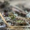 Margasis ietinukas - Myrmeleotettix maculatus | Fotografijos autorius : Dalia Račkauskaitė | © Macrogamta.lt | Šis tinklapis priklauso bendruomenei kuri domisi makro fotografija ir fotografuoja gyvąjį makro pasaulį.
