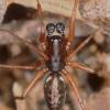 Neriene clathrata - Margasis lygumvoris | Fotografijos autorius : Lukas Jonaitis | © Macrogamta.lt | Šis tinklapis priklauso bendruomenei kuri domisi makro fotografija ir fotografuoja gyvąjį makro pasaulį.