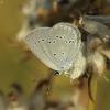 Cyaniris [=Polyommatus] semiargus - Pilkasis melsvys | Fotografijos autorius : Vidas Brazauskas | © Macrogamta.lt | Šis tinklapis priklauso bendruomenei kuri domisi makro fotografija ir fotografuoja gyvąjį makro pasaulį.