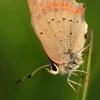Mažasis auksinukas - Lycaena phlaeas | Fotografijos autorius : Ramunė Vakarė | © Macrogamta.lt | Šis tinklapis priklauso bendruomenei kuri domisi makro fotografija ir fotografuoja gyvąjį makro pasaulį.