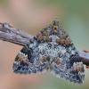 Miškinė cidarija - Dysstroma truncata | Fotografijos autorius : Arūnas Eismantas | © Macrogamta.lt | Šis tinklapis priklauso bendruomenei kuri domisi makro fotografija ir fotografuoja gyvąjį makro pasaulį.
