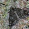 Miškinė cidarija - Dysstroma truncata | Fotografijos autorius : Eglė Vičiuvienė (Černevičiūtė) | © Macrogamta.lt | Šis tinklapis priklauso bendruomenei kuri domisi makro fotografija ir fotografuoja gyvąjį makro pasaulį.