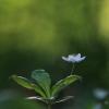 Miškinė septynikė - Trientalis europaea | Fotografijos autorius : Agnė Našlėnienė | © Macrogamta.lt | Šis tinklapis priklauso bendruomenei kuri domisi makro fotografija ir fotografuoja gyvąjį makro pasaulį.