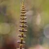 Miškinis asiūklis - Equisetum sylvaticum | Fotografijos autorius : Agnė Našlėnienė | © Macrogamta.lt | Šis tinklapis priklauso bendruomenei kuri domisi makro fotografija ir fotografuoja gyvąjį makro pasaulį.