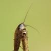 Miškinis prūsokas - Ectobius sylvestris | Fotografijos autorius : Žilvinas Pūtys | © Macrogamta.lt | Šis tinklapis priklauso bendruomenei kuri domisi makro fotografija ir fotografuoja gyvąjį makro pasaulį.