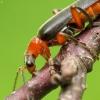 Minkštavabalis - Cantharis pellucida | Fotografijos autorius : Vidas Brazauskas | © Macrogamta.lt | Šis tinklapis priklauso bendruomenei kuri domisi makro fotografija ir fotografuoja gyvąjį makro pasaulį.