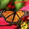 Monarchas keliauninkas - Danaus plexippus | Fotografijos autorius : Vaida Paznekaitė | © Macrogamta.lt | Šis tinklapis priklauso bendruomenei kuri domisi makro fotografija ir fotografuoja gyvąjį makro pasaulį.