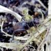 Musė - Crumomyia pedestris | Fotografijos autorius : Romas Ferenca | © Macrogamta.lt | Šis tinklapis priklauso bendruomenei kuri domisi makro fotografija ir fotografuoja gyvąjį makro pasaulį.