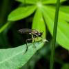 Plėšriamusė - Dioctria cf. hyalipennis | Fotografijos autorius : Irenėjas Urbonavičius | © Macrogamta.lt | Šis tinklapis priklauso bendruomenei kuri domisi makro fotografija ir fotografuoja gyvąjį makro pasaulį.