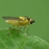 Musytė - Chloropidae sp. | Fotografijos autorius : Vidas Brazauskas | © Macrogamta.lt | Šis tinklapis priklauso bendruomenei kuri domisi makro fotografija ir fotografuoja gyvąjį makro pasaulį.