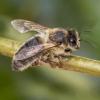 Naminė bitė - Apis mellifera carnica | Fotografijos autorius : Kazimieras Martinaitis | © Macrogamta.lt | Šis tinklapis priklauso bendruomenei kuri domisi makro fotografija ir fotografuoja gyvąjį makro pasaulį.