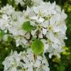 Naminė slyva - Prunus domestica | Fotografijos autorius : Gintautas Steiblys | © Macrogamta.lt | Šis tinklapis priklauso bendruomenei kuri domisi makro fotografija ir fotografuoja gyvąjį makro pasaulį.