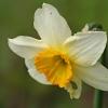 Narcizas - Narcissus sp. | Fotografijos autorius : Gintautas Steiblys | © Macrogamta.lt | Šis tinklapis priklauso bendruomenei kuri domisi makro fotografija ir fotografuoja gyvąjį makro pasaulį.
