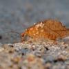 Lapasparnis - Drepanepteryx phalaenoides | Fotografijos autorius : Rasa Gražulevičiūtė | © Macrogamta.lt | Šis tinklapis priklauso bendruomenei kuri domisi makro fotografija ir fotografuoja gyvąjį makro pasaulį.