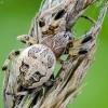 Nendrinis žnypliavoris - Larinioides cornutus | Fotografijos autorius : Darius Baužys | © Macrogamta.lt | Šis tinklapis priklauso bendruomenei kuri domisi makro fotografija ir fotografuoja gyvąjį makro pasaulį.