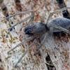 Nendrinis maišavoris - Clubiona phragmitis  | Fotografijos autorius : Gintautas Steiblys | © Macrogamta.lt | Šis tinklapis priklauso bendruomenei kuri domisi makro fotografija ir fotografuoja gyvąjį makro pasaulį.