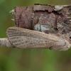 Nendrinis medgręžis - Phragmataecia castaneae ♂ | Fotografijos autorius : Žilvinas Pūtys | © Macrogamta.lt | Šis tinklapis priklauso bendruomenei kuri domisi makro fotografija ir fotografuoja gyvąjį makro pasaulį.