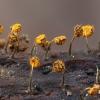 Oranžinis kukuliukas - Physarum viride | Fotografijos autorius : Žilvinas Pūtys | © Macrogamta.lt | Šis tinklapis priklauso bendruomenei kuri domisi makro fotografija ir fotografuoja gyvąjį makro pasaulį.