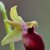 Ofris - Ophrys helenae | Fotografijos autorius : Nomeda Vėlavičienė | © Macrogamta.lt | Šis tinklapis priklauso bendruomenei kuri domisi makro fotografija ir fotografuoja gyvąjį makro pasaulį.