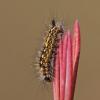 Pelkinis šepetinukas - Orgyia antiquoides | Fotografijos autorius : Zita Gasiūnaitė | © Macrogamta.lt | Šis tinklapis priklauso bendruomenei kuri domisi makro fotografija ir fotografuoja gyvąjį makro pasaulį.