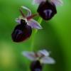 Ofris - Ophrys ferrum-equinum | Fotografijos autorius : Nomeda Vėlavičienė | © Macrogamta.lt | Šis tinklapis priklauso bendruomenei kuri domisi makro fotografija ir fotografuoja gyvąjį makro pasaulį.