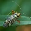 Ornamentinė žolblakė - Rhabdomiris striatellus | Fotografijos autorius : Žilvinas Pūtys | © Macrogamta.lt | Šis tinklapis priklauso bendruomenei kuri domisi makro fotografija ir fotografuoja gyvąjį makro pasaulį.