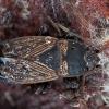 Ovalioji dirvablakė - Trapezonotus anorus | Fotografijos autorius : Žilvinas Pūtys | © Macrogamta.lt | Šis tinklapis priklauso bendruomenei kuri domisi makro fotografija ir fotografuoja gyvąjį makro pasaulį.