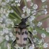 Pachytodes cerambyciformis - Išvartinis vėtrasekis   Fotografijos autorius : Giedrius Markevičius   © Macrogamta.lt   Šis tinklapis priklauso bendruomenei kuri domisi makro fotografija ir fotografuoja gyvąjį makro pasaulį.
