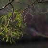 Paprastasis amalas - Viscum album | Fotografijos autorius : Kęstutis Obelevičius | © Macrogamta.lt | Šis tinklapis priklauso bendruomenei kuri domisi makro fotografija ir fotografuoja gyvąjį makro pasaulį.