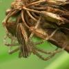 Paprastasis guolininkas - Pisaura mirabilis    Fotografijos autorius : Vidas Brazauskas   © Macrogamta.lt   Šis tinklapis priklauso bendruomenei kuri domisi makro fotografija ir fotografuoja gyvąjį makro pasaulį.