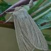 Paprastasis pievinukas - Mythimna pallens | Fotografijos autorius : Gintautas Steiblys | © Macrogamta.lt | Šis tinklapis priklauso bendruomenei kuri domisi makro fotografija ir fotografuoja gyvąjį makro pasaulį.