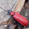 Paprastasis raudonvabalis - Pyrochroa coccinea | Fotografijos autorius : Romas Ferenca | © Macrogamta.lt | Šis tinklapis priklauso bendruomenei kuri domisi makro fotografija ir fotografuoja gyvąjį makro pasaulį.