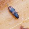 Paprastasis siauravabalis - Bitoma crenata | Fotografijos autorius : Romas Ferenca | © Macrogamta.lt | Šis tinklapis priklauso bendruomenei kuri domisi makro fotografija ir fotografuoja gyvąjį makro pasaulį.