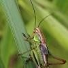 Paprastasis spragtukas - Metrioptera roeselii | Fotografijos autorius : Ramunė Činčikienė | © Macrogamta.lt | Šis tinklapis priklauso bendruomenei kuri domisi makro fotografija ir fotografuoja gyvąjį makro pasaulį.