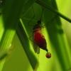 Paprastasis uodas - Culex pipiens ? | Fotografijos autorius : Vidas Brazauskas | © Macrogamta.lt | Šis tinklapis priklauso bendruomenei kuri domisi makro fotografija ir fotografuoja gyvąjį makro pasaulį.