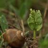 Paprastasis varpenis - Botrychium lunaria | Fotografijos autorius : Kęstutis Obelevičius | © Macrogamta.lt | Šis tinklapis priklauso bendruomenei kuri domisi makro fotografija ir fotografuoja gyvąjį makro pasaulį.