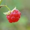Paprastoji avietė - Rubus idaeus | Fotografijos autorius : Gintautas Steiblys | © Macrogamta.lt | Šis tinklapis priklauso bendruomenei kuri domisi makro fotografija ir fotografuoja gyvąjį makro pasaulį.