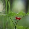 Paprastoji katuogė - Rubus saxatilis | Fotografijos autorius : Agnė Našlėnienė | © Macrogamta.lt | Šis tinklapis priklauso bendruomenei kuri domisi makro fotografija ir fotografuoja gyvąjį makro pasaulį.