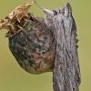 Pieninė kukulija - Cuculia lucifuga | Fotografijos autorius : Gintautas Steiblys | © Macrogamta.lt | Šis tinklapis priklauso bendruomenei kuri domisi makro fotografija ir fotografuoja gyvąjį makro pasaulį.