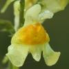Paprastoji linažolė - Linaria vulgaris | Fotografijos autorius : Gintautas Steiblys | © Macrogamta.lt | Šis tinklapis priklauso bendruomenei kuri domisi makro fotografija ir fotografuoja gyvąjį makro pasaulį.