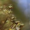 Paprastoji maršantija - Marchantia polymorpha | Fotografijos autorius : Agnė Našlėnienė | © Macrogamta.lt | Šis tinklapis priklauso bendruomenei kuri domisi makro fotografija ir fotografuoja gyvąjį makro pasaulį.