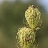 Paprastoji morka - Daucus carota | Fotografijos autorius : Agnė Našlėnienė | © Macrogamta.lt | Šis tinklapis priklauso bendruomenei kuri domisi makro fotografija ir fotografuoja gyvąjį makro pasaulį.