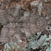 Paprastoji peteliškė - Catocala nupta | Fotografijos autorius : Žilvinas Pūtys | © Macrogamta.lt | Šis tinklapis priklauso bendruomenei kuri domisi makro fotografija ir fotografuoja gyvąjį makro pasaulį.