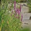 Paprastoji raudoklė - Lythrum salicaria | Fotografijos autorius : Kęstutis Obelevičius | © Macrogamta.lt | Šis tinklapis priklauso bendruomenei kuri domisi makro fotografija ir fotografuoja gyvąjį makro pasaulį.